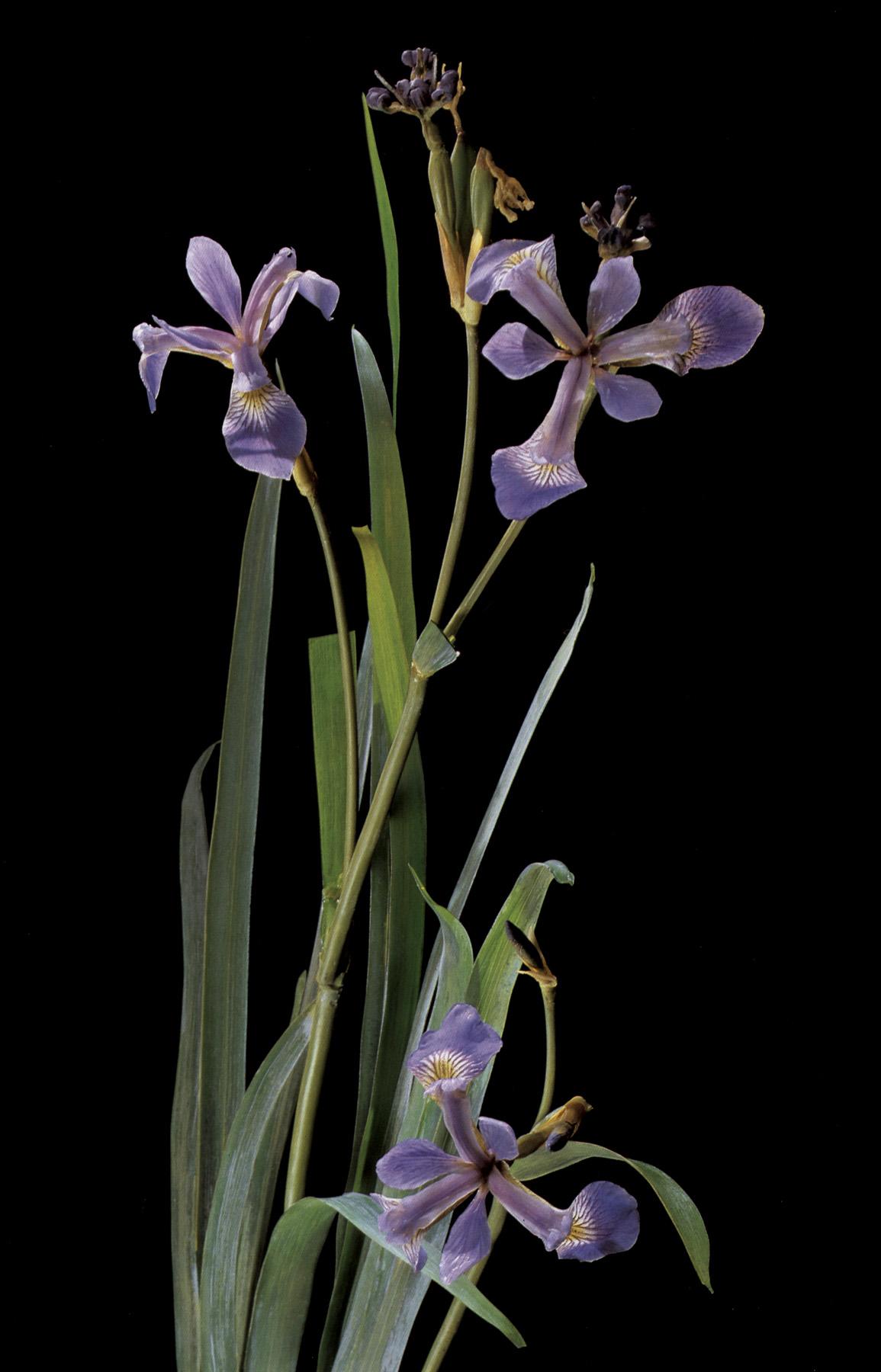 Image result for blaschka glass models of plants
