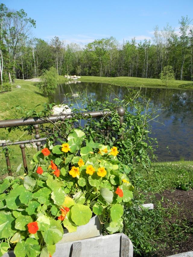 Edible nasturtiums at Hidden Pond 1