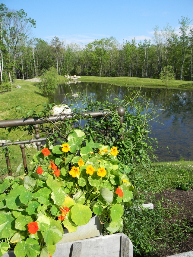 Edible nasturtiums at Hidden Pond 1