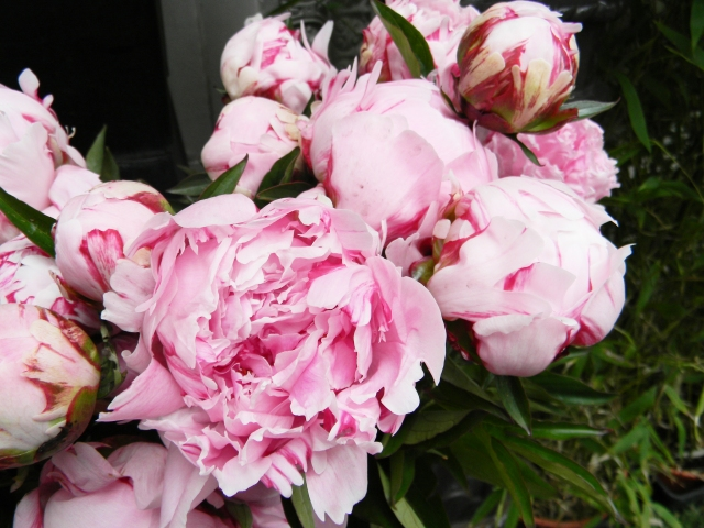 Peonies Paris