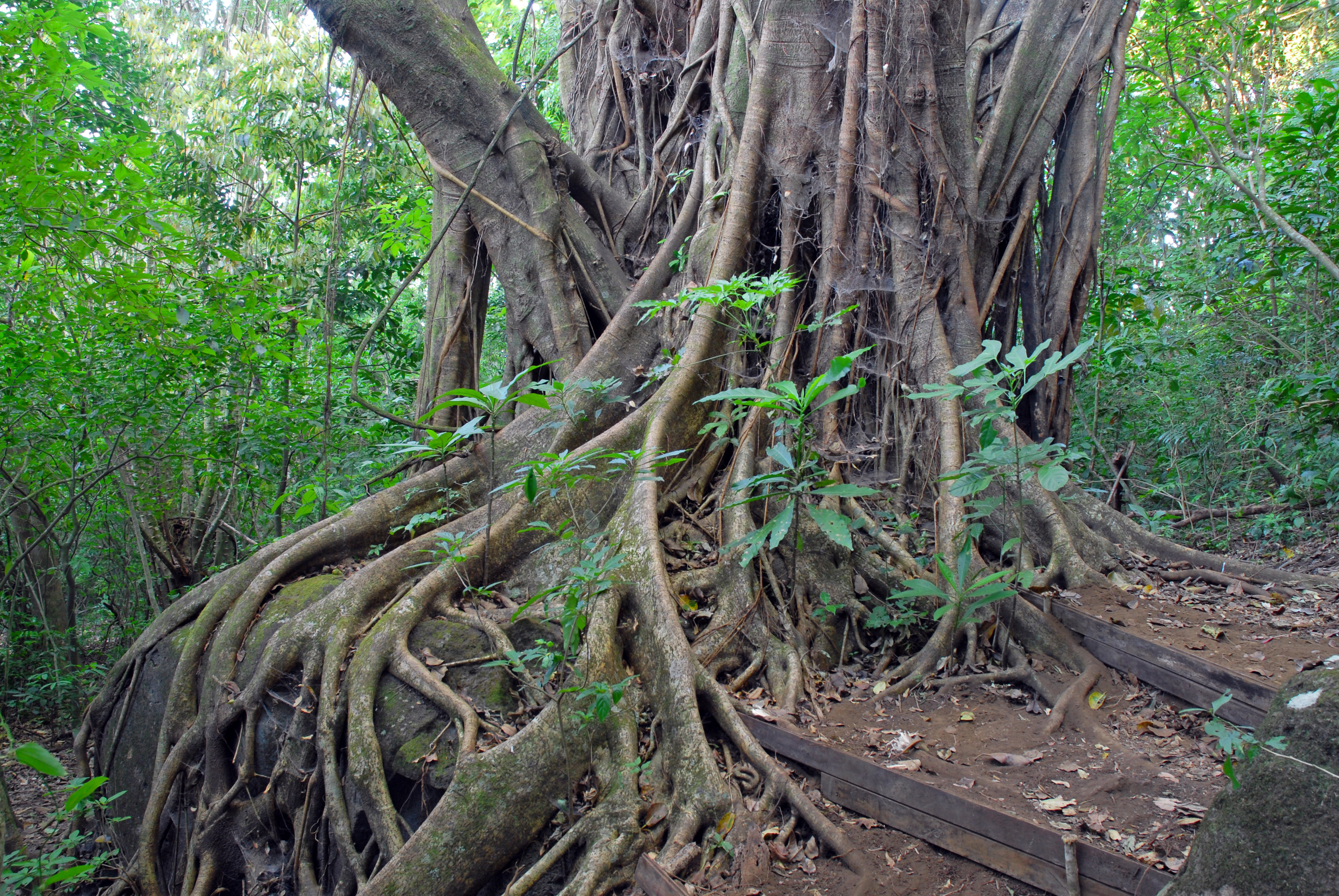 Image source plantsam com - Ficus Tree Roots In Rainforest The Jungle Costa Rica A Source For Many Medicinal Plants Used In Medicine And Drug Development