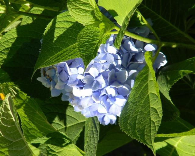 Hilly Hydrangea